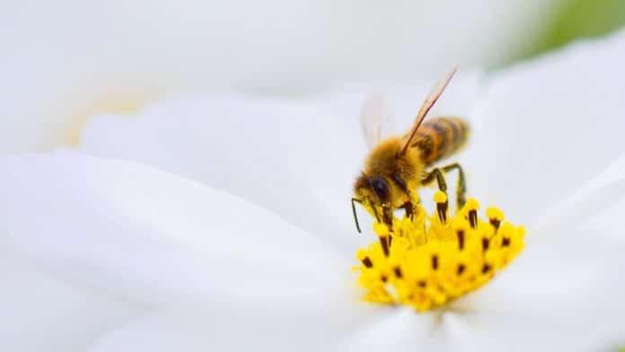 Des abeilles au cinéma Darcy